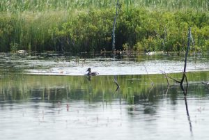 Ring-necked duck with brood of young ducklings in Nova Scotia